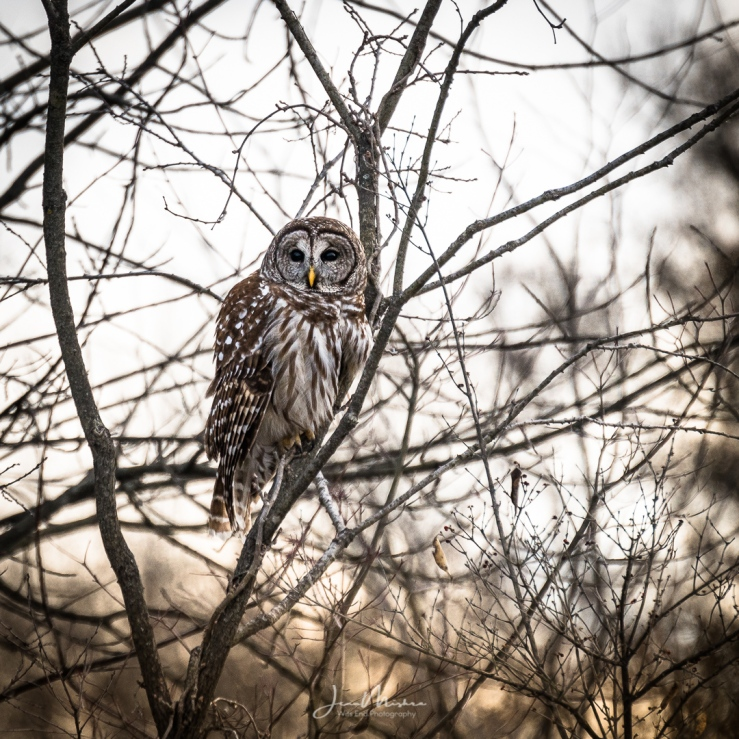 Photo Owl at Busch Conservation Area