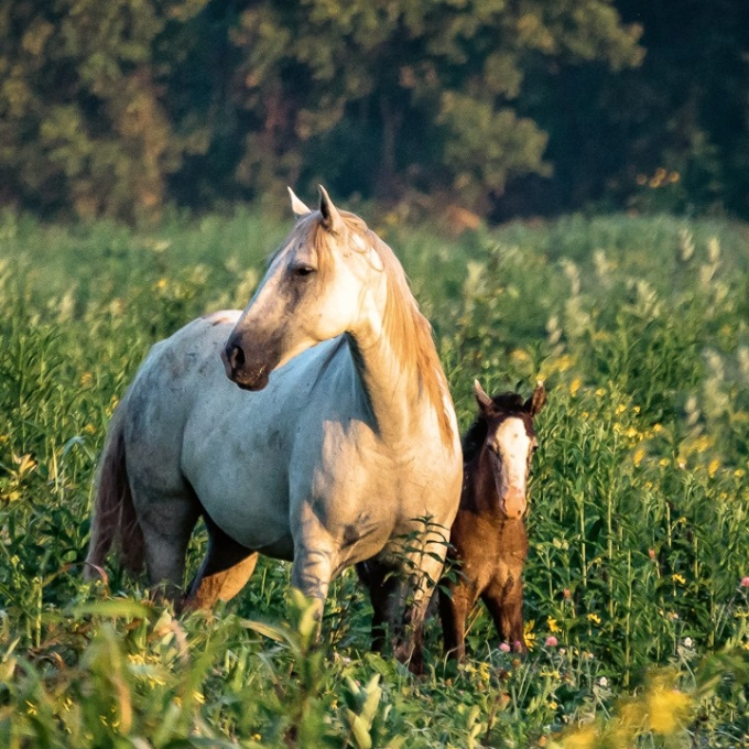 Photo Wild Horses - Momma and Baby
