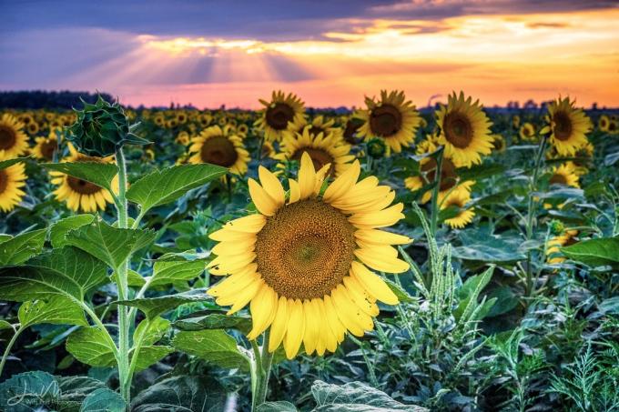 Photo Sunflowers at Sunset 1