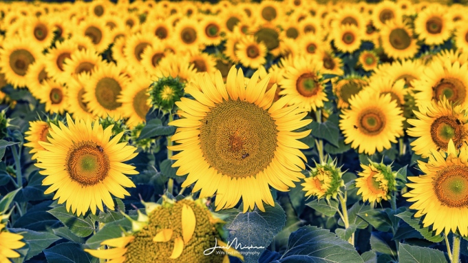 Thousands of Sunflowers