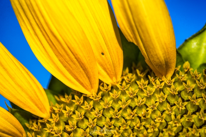 Photo Sunflower Macro
