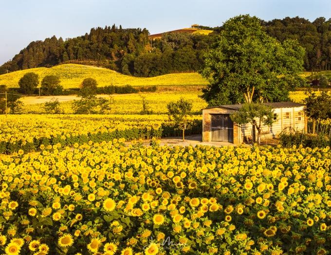 Photo Tuscan Field
