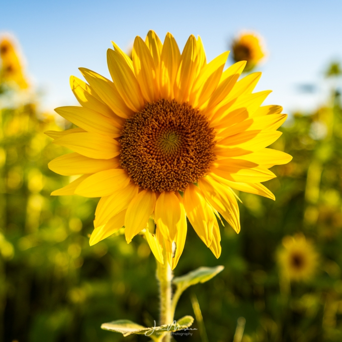 Photo Sunflowers at Glik