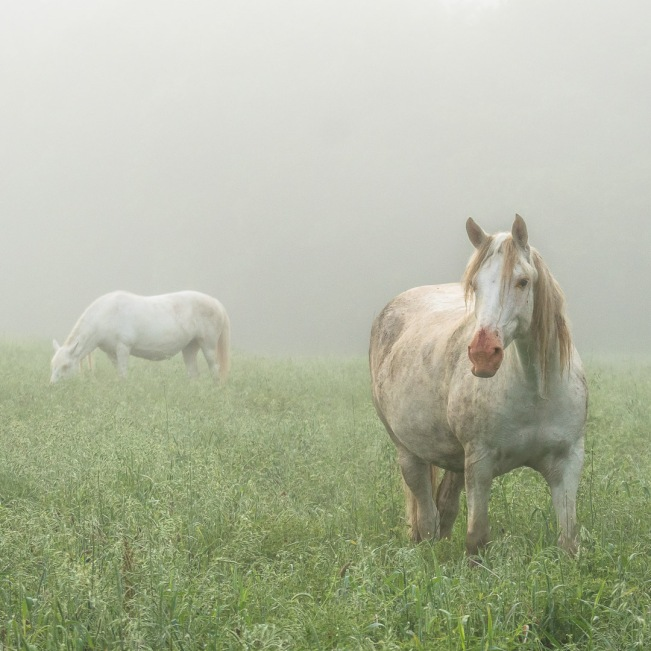 White horses on a foggy morning.