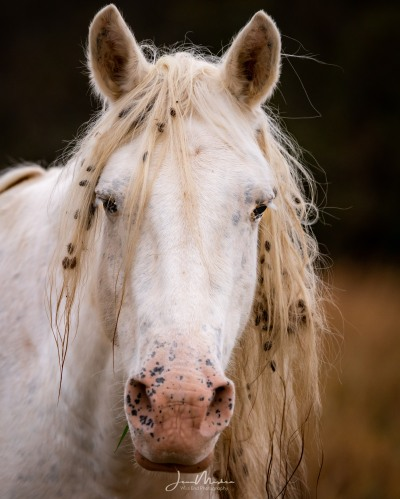 Portrait of wild horse in Missouri Ozarks