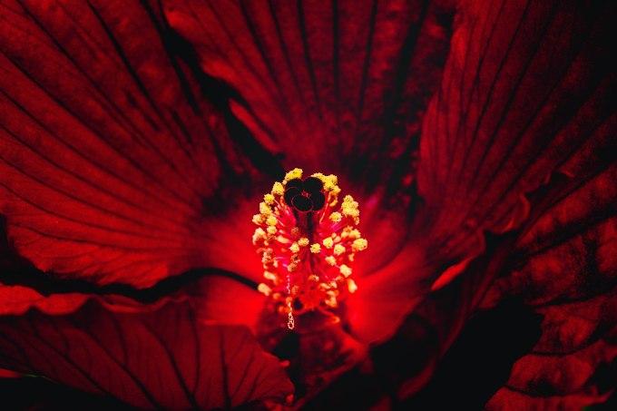 Deep red flower macro