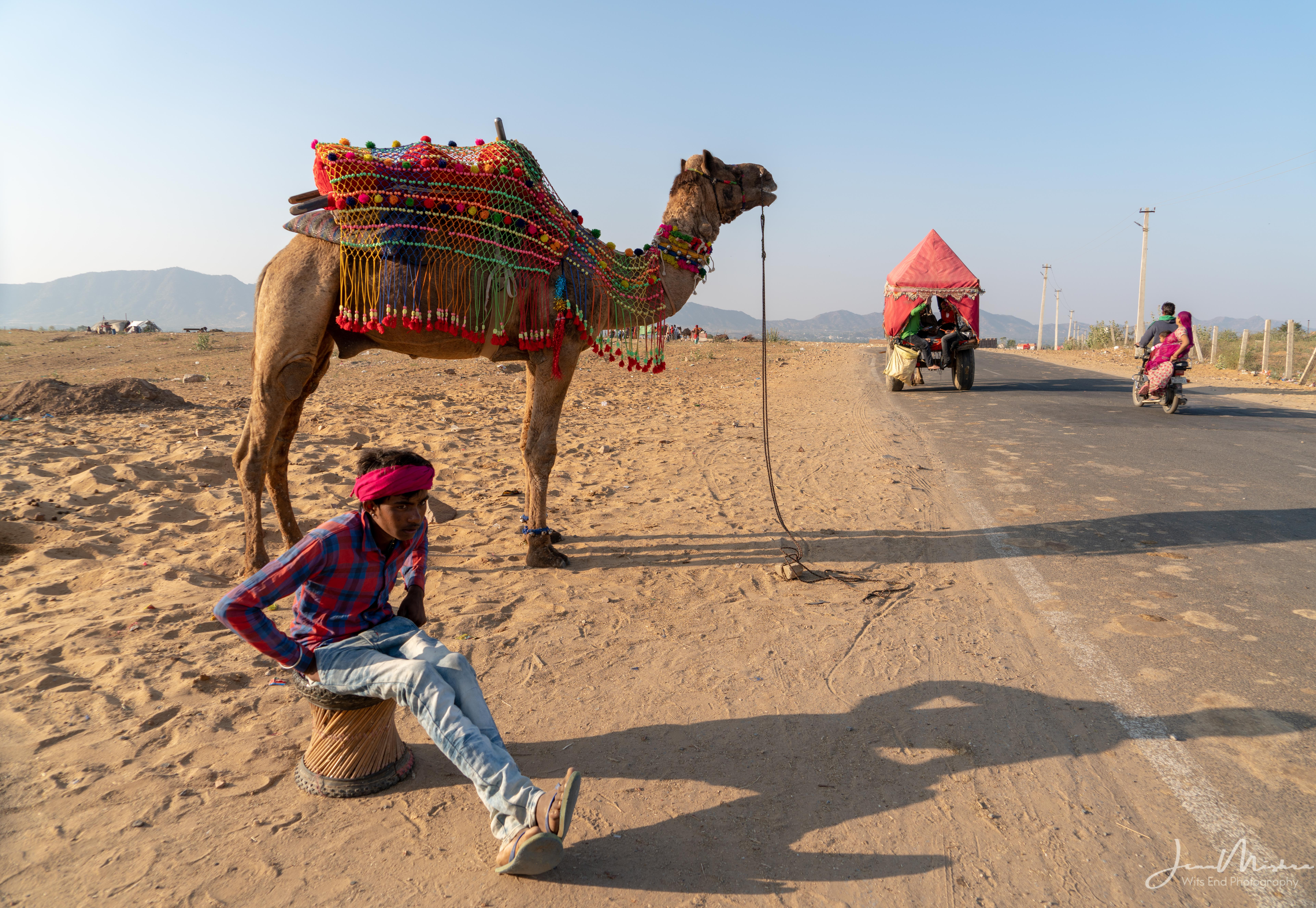 Camels in Pushkar