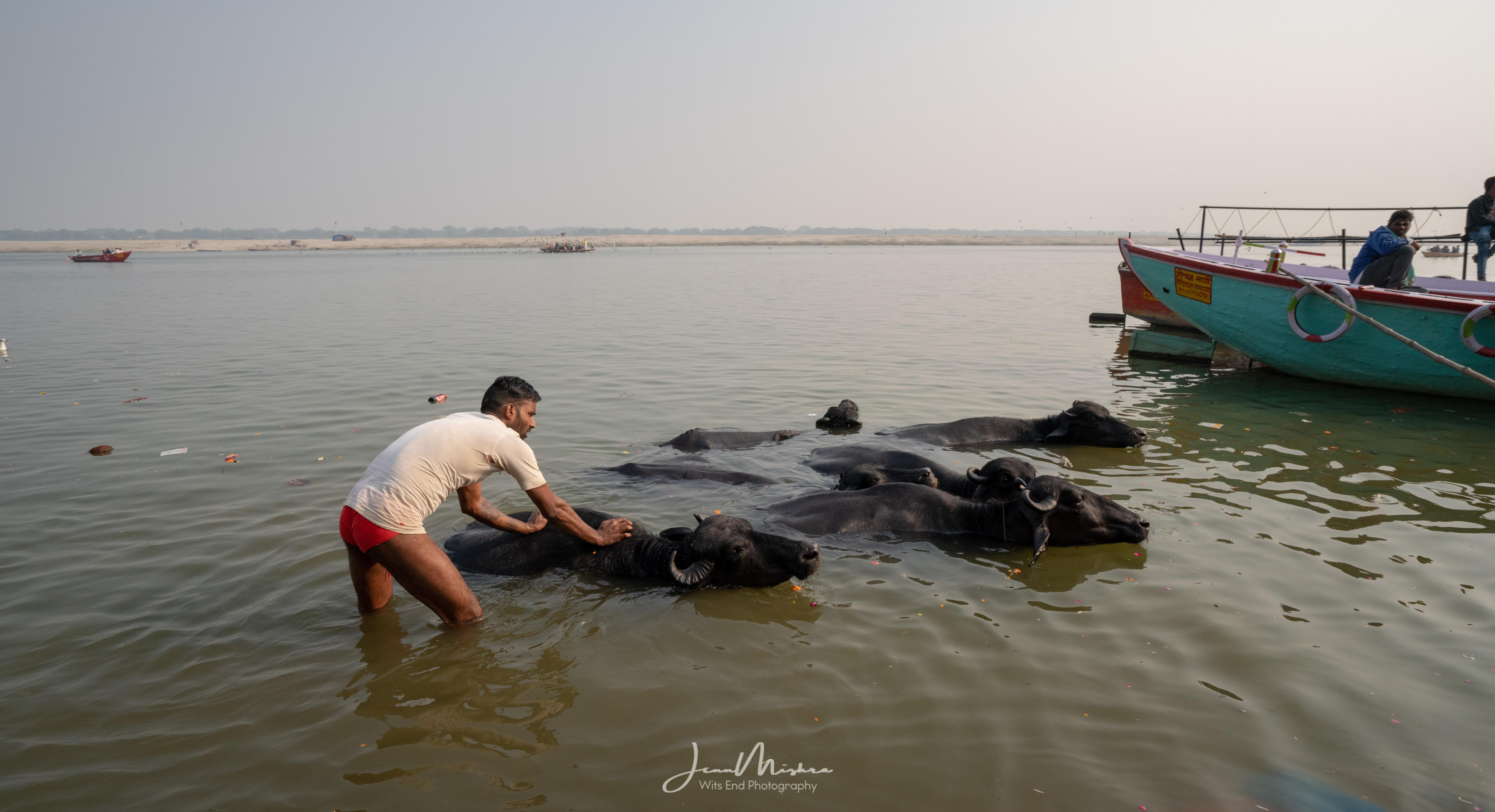 Buffalo Ganges River